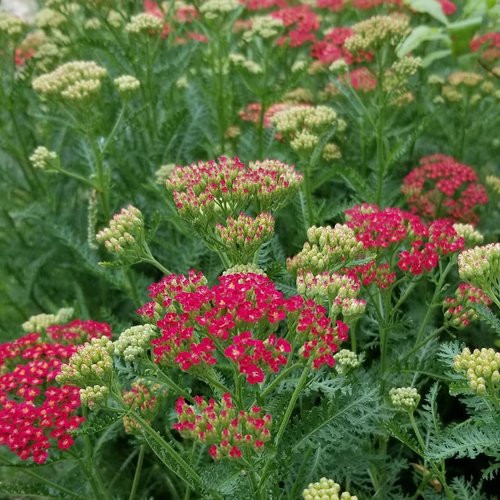 """New Vintage Red"" Yarrow (Achillea millefolium 'Balvinred')"