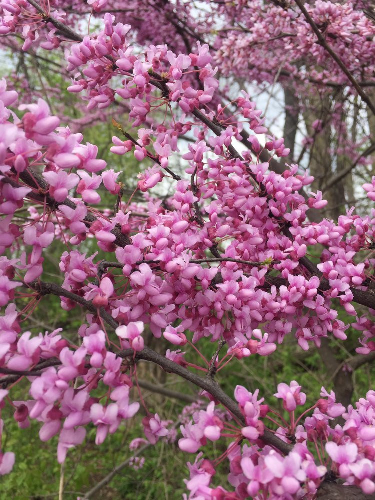 Red Bud (Cercis canadensis)
